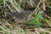 Lanceolated Warbler, Skaw, Unst. 7th October 2010. Photo by Mike Pennington.