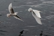 Iceland Gulls in flight