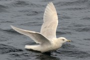 3rd winter Kumlien's Iceland Gull