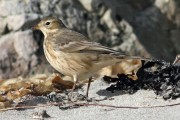 Buff-Bellied Pipit. Photo by Roger Riddington.