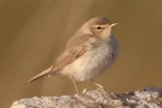 Booted Warbler at Haroldswick, Sept 2012. Photo by Robbie Brookes.