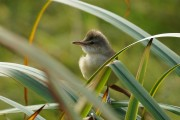 Great Reed Warbler. Photo by Mike Pennington.