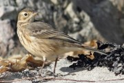 Buff Bellied Pipit. Photo by Roger Riddington.