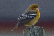 Baltimore Oriole at Baltasound, Unst. Photo by Ian Cowgill.