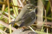The Arctic Warbler we found in the morning. Photo by Simon Hawkins.