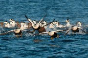 Eider flock taking off