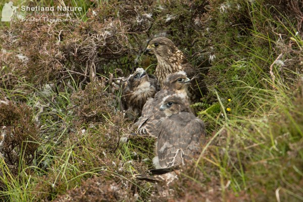 Female Merlin with brood. Photo by Brydon Thomason.