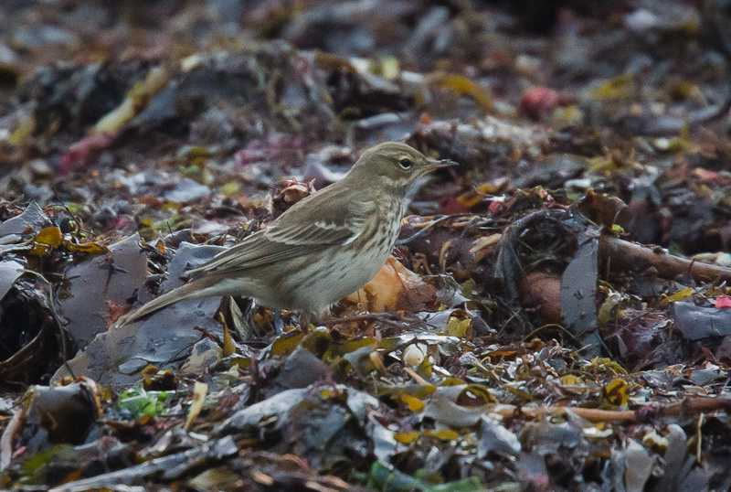 Water Pipit at Norwick. Photo by Larry Dalziel.