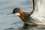 Red-necked Phalarope. Photo by Brydon Thomason.