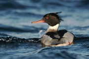 Other wildlife that share the shoreline of otter environment - Red-breasted Merganser. (Photo: Brydon Thomason)